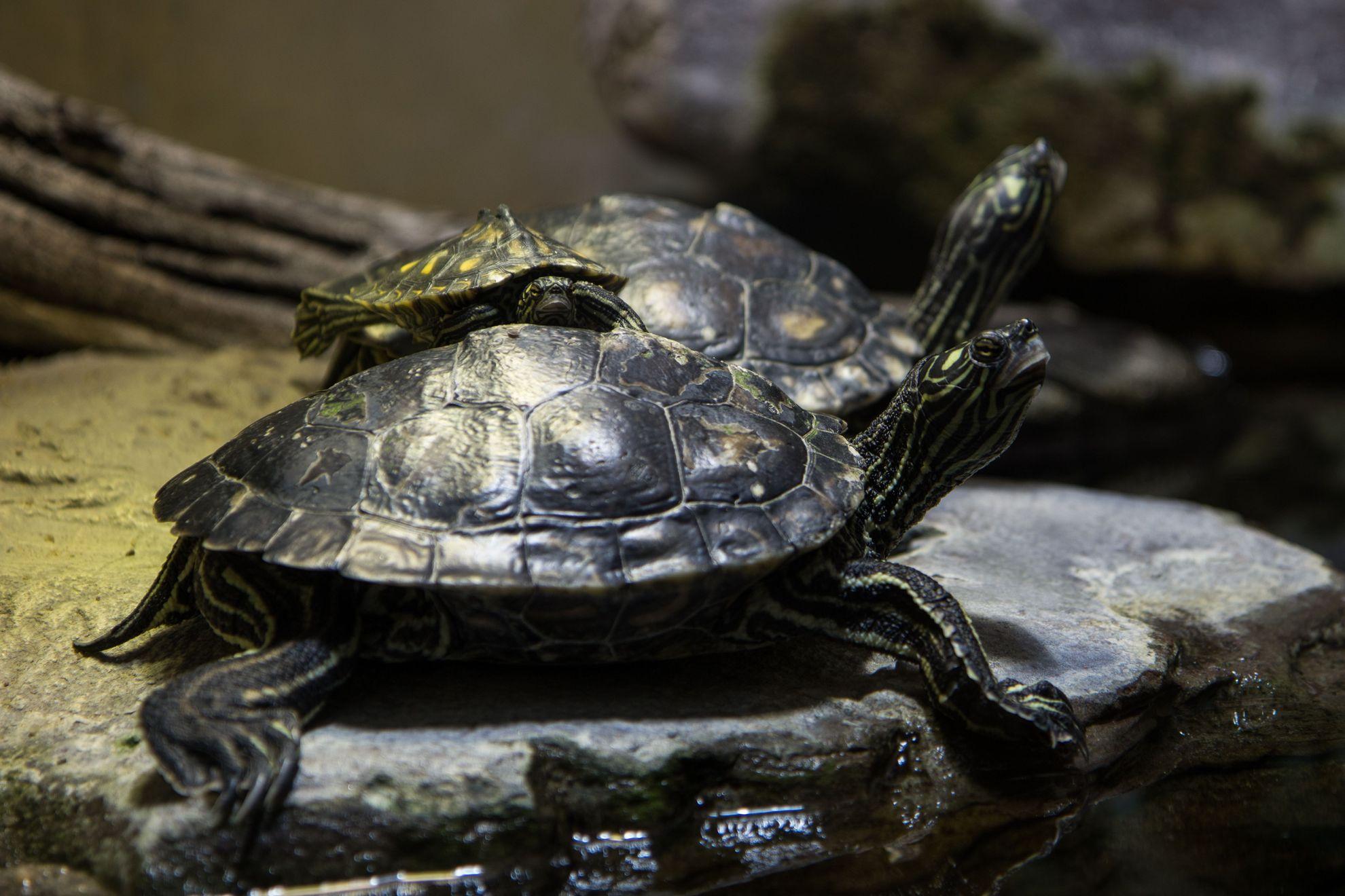 Schildkröten1